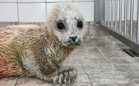 Extra zorg voor te vroeg geboren zeehondenpup in Ecomare
