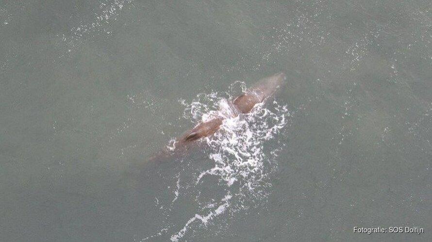 Verdwaalde potvis op zee overleden