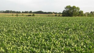 """Texelse oogst in gevaar door extreme droogte: """"Naar boven kijken en hopen"""""""