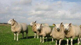 Morgen dag van het Texelse schaap