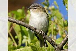 Texel overspoeld door honderden vogelaars: 'verdwaalde' Amerikaanse zangvogel gespot