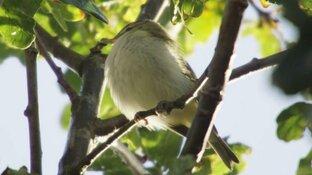 Honderden vogelaars zoeken naar zeldzame roodoogvireo