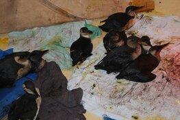 Olievogels opgevangen bij Ecomare