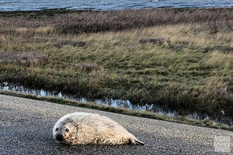 Eerste pasgeboren grijze zeehond op Texel