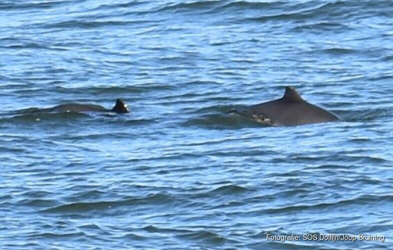 Opnieuw bruinvissen gespot voor Noord-Hollandse kust