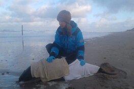 Wandelaar vindt levende bruinvis op strand van Texel