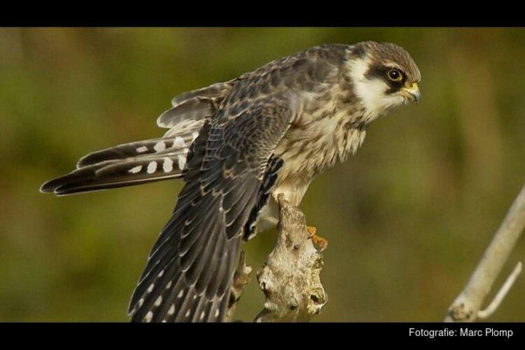 Dutch Birding-Vogelweekend