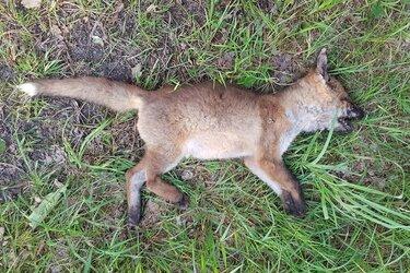 Dode vos in het Texelse bos