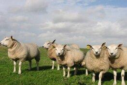 Dag van het Texelse schaap