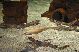 Bijzondere witte haai bij Ecomare