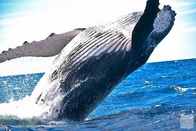 Ouderwetse walvisvlijt bij Ecomare