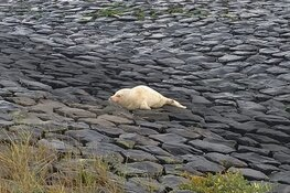 Albino zeehond in opvang Ecomare