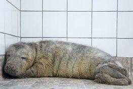 Eerste pup grijze zeehond in opvang Ecomare