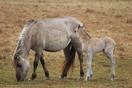 Konikpaarden die dreigden te worden geslacht, mogen tóch op Texel blijven