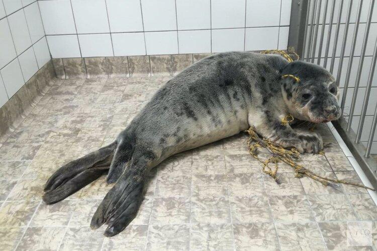 Reddingsactie zeehond met net