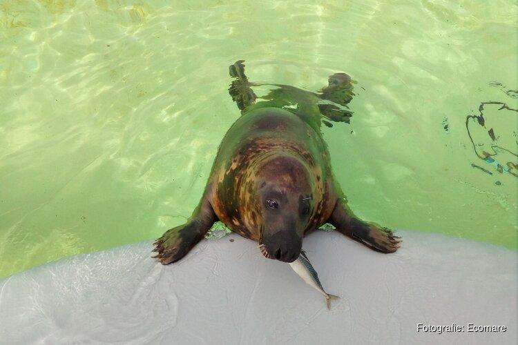 Makrelen voor de zeehonden van Ecomare