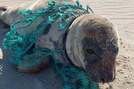 Net op tijd, zeehond bevrijd