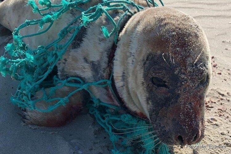 In visnet gewikkelde zeehond Droppie weer opgeknapt en terug naar zee