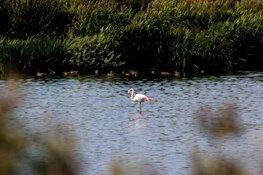 Flamingo op Texel verhuist van plek