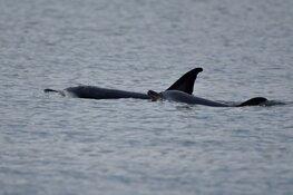 Dolfijn met kalf gered van stranding bij Texel